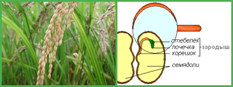можно ли есть рис во время похудения